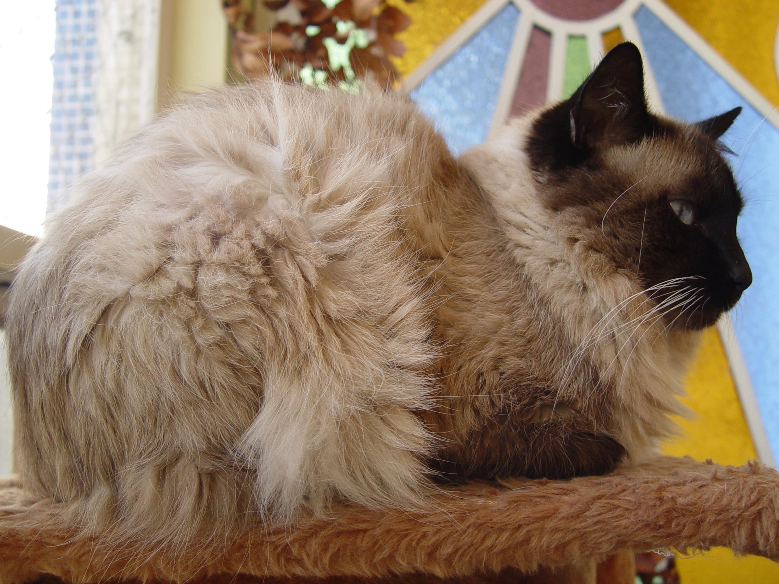 Gato Botinha