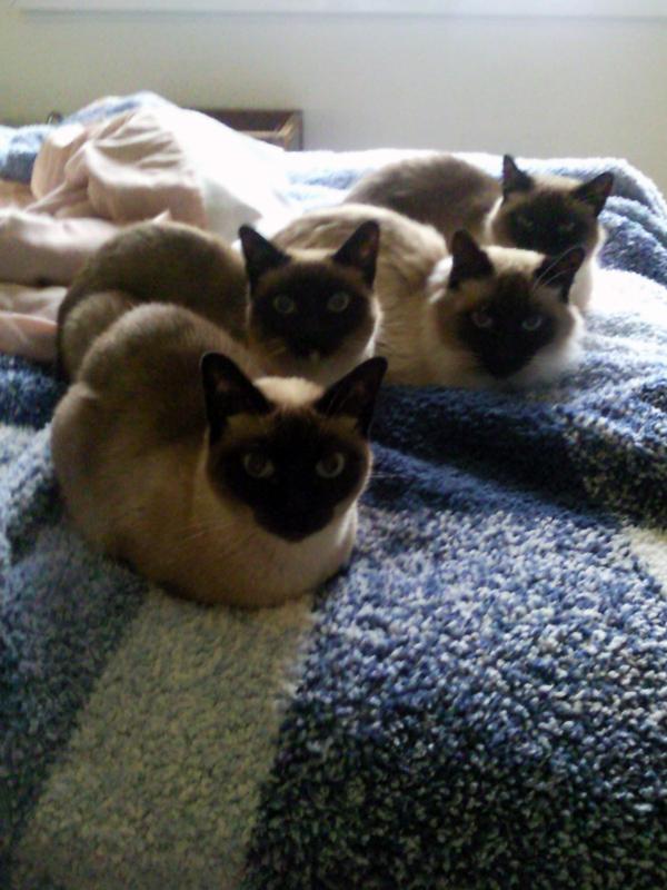Família Gato