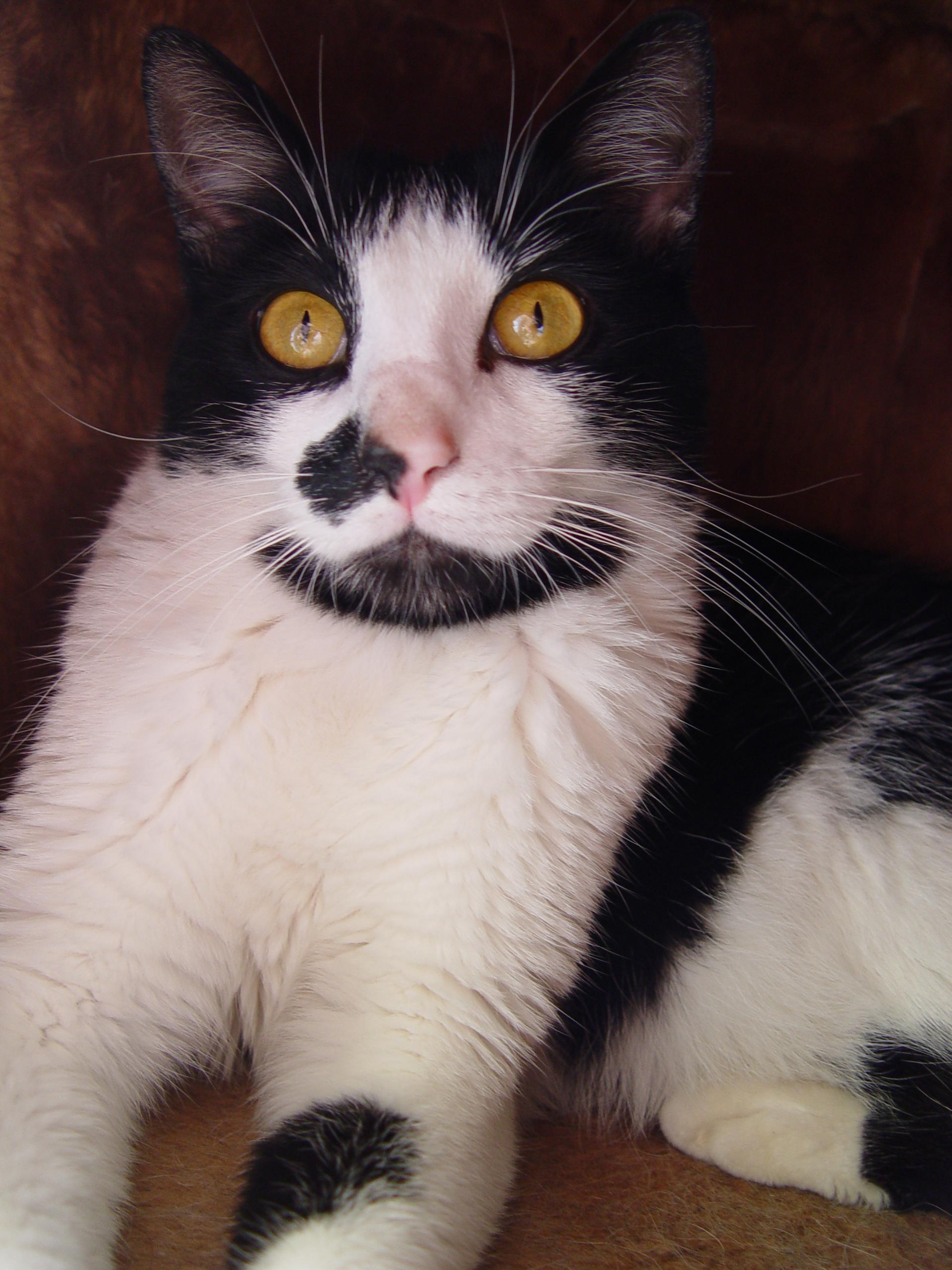 Gato Paçoca